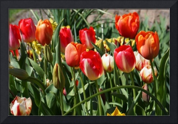 Tulips Gardens Art Prints Red Orange Tulip Floral