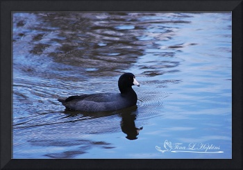 American Coot - The Blue Period 20131030_59a