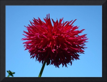 DAHLIA FLOWER Red Purple Dahlias Art Prints