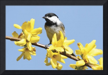 Black-Capped Chickadee Photograph