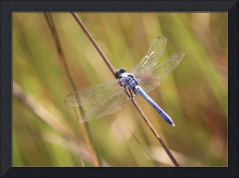 Blue Dragonfly in the Marsh