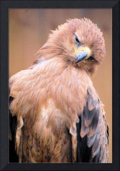 Curious Black Kite