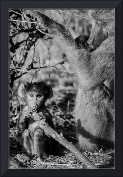 Older Baboon with Baby Black and White Photograph