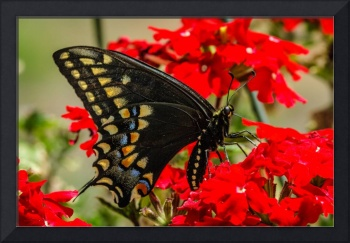 Baird's Old World Swallowtail Butterfly