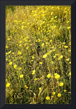 Sunny Yellow Wildflowers of Lebanon 1132