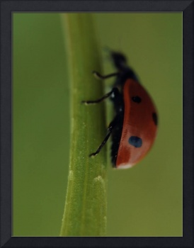 Ladybird on flower, Macro, still life, ladybug ph1