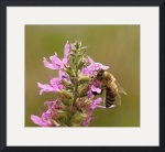 Honey Bee On Purple Loosestrife by Jim Bavosi