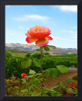 Rose at Wolff Vineyards, CA