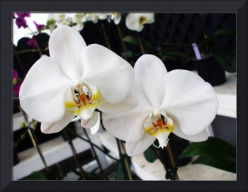 Whit Orchid