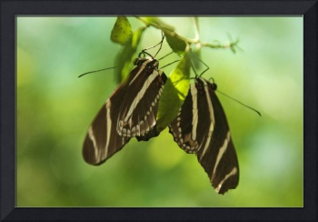 A pair of Zebra long wing butterflies photography
