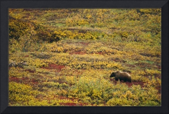 Grizzly bear (U. horribilis) looking for berries