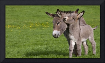 Mom Donkey In The Meadow With Foal, France