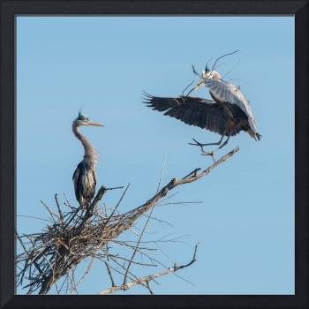 Adult Great Blue Heron bringing stick to nest.