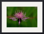 Knapweed ll by Jim Bavosi