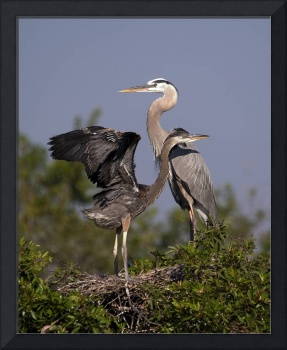 Great Blue Herons on the Nest