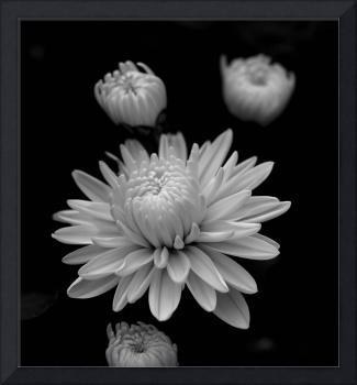 Blossoming Chrysanthemum  ll