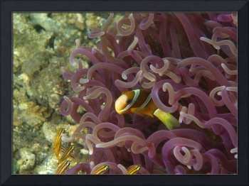 Pink Anemona With Clownfish