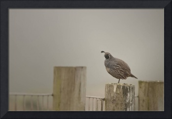 California Quail in Fog