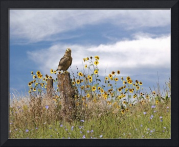 Hawk in Field of Wildflowers