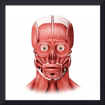 Medical illustration of male facial muscles, front