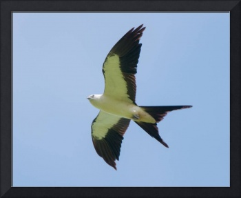 Swallow-tailed Kite Flying