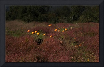 pumpkins in field