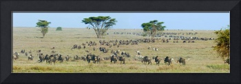 Herd of wildebeest and zebras in a field