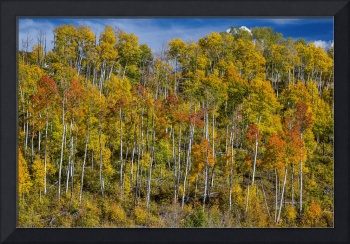 Autumn Aspen Tree Forest Layers Of Colors