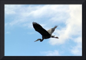 Great Blue Heron Flying Past the Clouds Above Troj