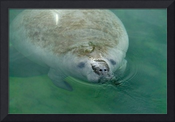 Manatee Close Up