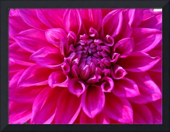 Dahlia Flower Pink Purple Floral art prints