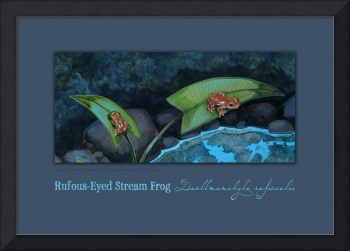 Rufous-eyed Stream Frogs