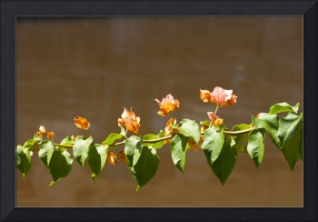 bougainvillea new buds