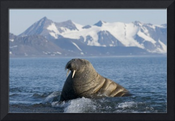 Walrus bull resting in shallow waters along the co