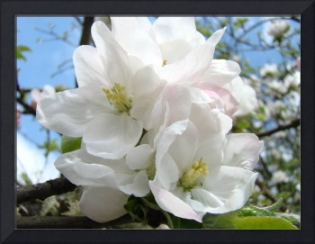 Apple Tree Blossoms Art Prints Spring Trees