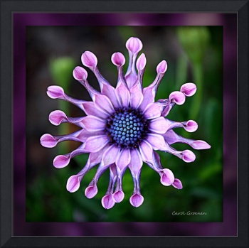 African Daisy HDR