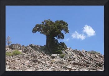 LONE TREE ON A BARREN MOUNTAIN