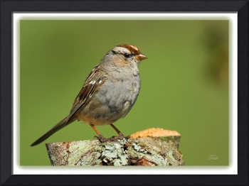 White-crowned Sparrow --juvenile
