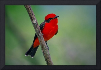 Red flycatcher of Colombia