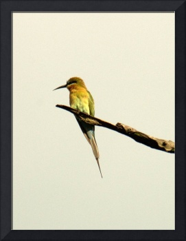 Perching bee eater