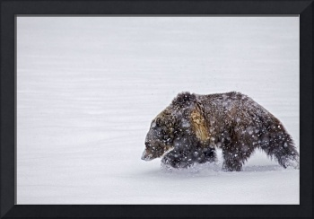 Grizzly Bear Weathering Snowstorm