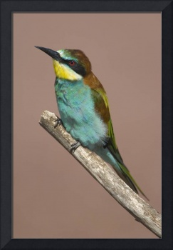 Close-up of an European bee-eater perching on a b