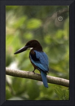 White-Throated Kingfisher_CRW_1074