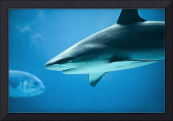 Caribbean Reef Shark - Marine Life Photography