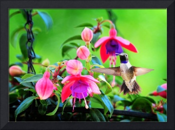 Black Chinned Hummingbird with Fuchsia