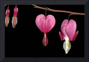 Bleeding Heart Pendant Flowers: A Valentine Flower