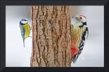 Spotted Woodpecker and Blue Tit Birds