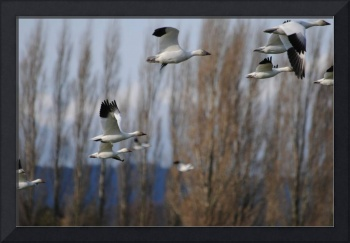 Flying South - Canadian Snow Geese