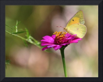 Afternoon With an Orange Sulphur Butterfly