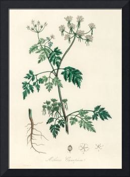 Vintage Botanical Poison parsley